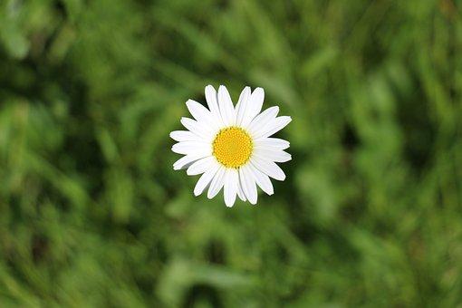 Daisy, Marguerite, Meadows Margerite