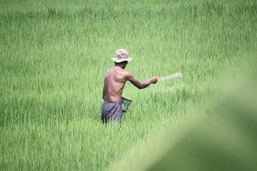 Farmer, Field, Green, Padi, Rural, Nature, Plant