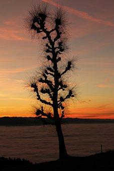 Eichenberg, Lake Constance, Abendstimmung, Tree, Oak