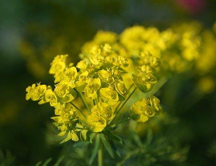 Ground Cover, Yellow Flower, Plant, Garden, Macro