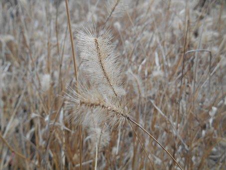 Weed, Setaria Viridis, Me, Poaceae