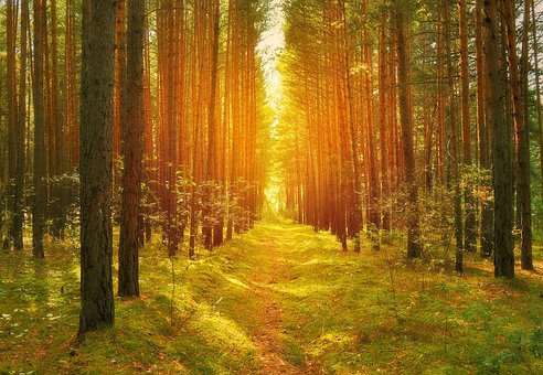 Forest, Trees, Pine Trees, Path, Road, Sun, Light