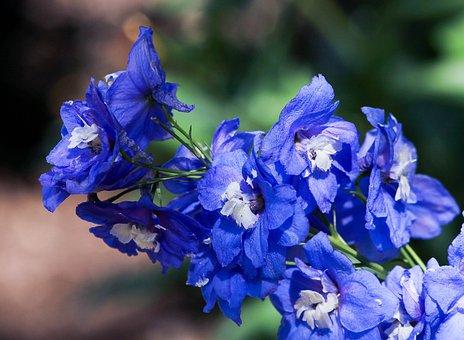Larkspur, Delphinium, Spike, Blue Flowers, Flowers