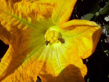 Pumpkin Blossom, Flower, Petal, Bloom, Aquatic