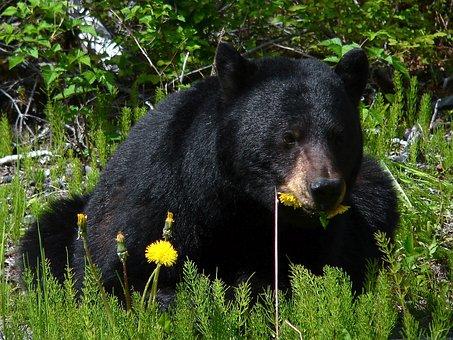 Black Bear, Glacier Bay, Alaska, Wildlife, Nature