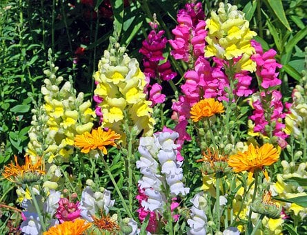 Snapdragon, Flowers, Bloom, Blossom, Colorful, Detail