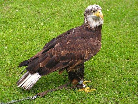 Bald Eagle, Body, Mláďě, Predator, Bird, Falconry