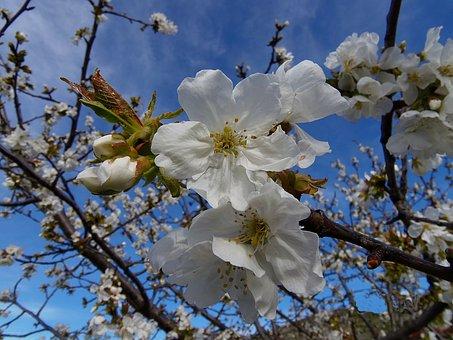 Fror, Cherry, Cherry Blossom, Flowers, Tree, Beauty