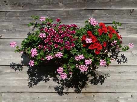 Geranium, Balcony Plant, Ornamental Plant, Colorful