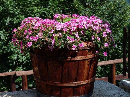 Flowers, Pink, Container Plant, Noble Pelargonium