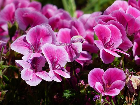 Flowers, Pink, Container Plant, Noble Pelargonium
