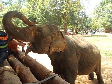 Elephant, Feed, Feeding, Eat, Sri Lanka