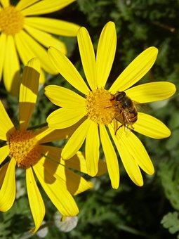 Drone, Bee, Yellow Daisy, Flower, Libar