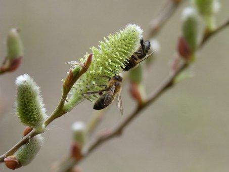 Fresno, Flowering, Bees, Libar