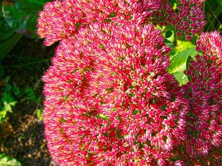 Flower, Sedum Spectabile, High Fettenhennen, Red, Ball