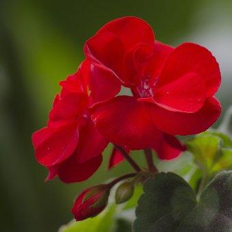 Flower, Red, Geranium, Pelargonium Zonale, Nature