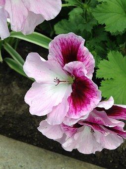Pelargonium Zonale, Pink, Flower, Nature