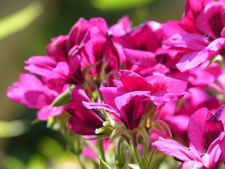 Flowers, Pink, Red, Noble Pelargonium