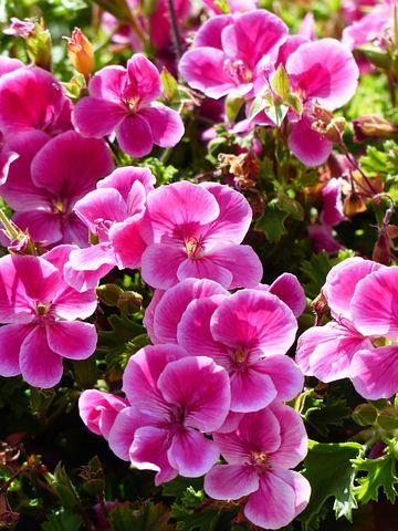 Flowers, Pink, Geranium, Container Plant