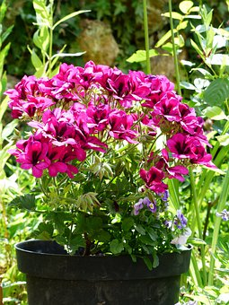 Flowers, Pink, Red, Noble Pelargonium