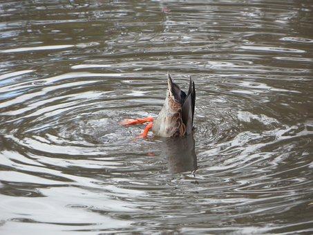 Water, Duck, Rump, Ducktail, Beams, Foraging