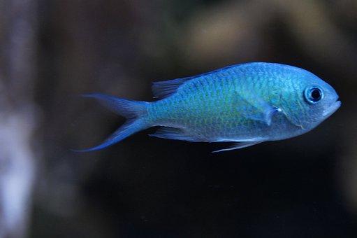 Schwalbenschwänzchen, Fish, Light Blue, Blue
