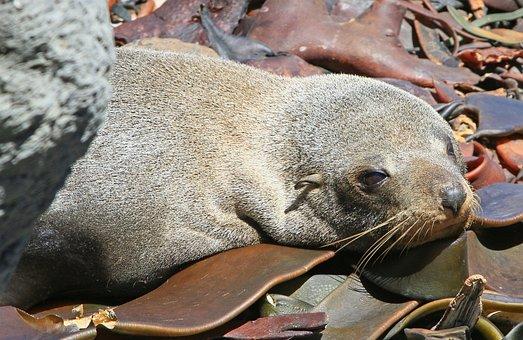 Fur Seal, Seals, Seal Pup, Kekeno