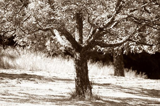 Apple Tree, Fruit Obstwiese, Agriculture, Light, Shadow
