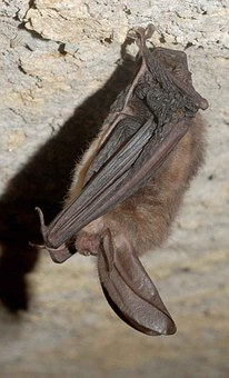 Townsendii, Corynorhinus, Bat, Eared, Big, Virginia