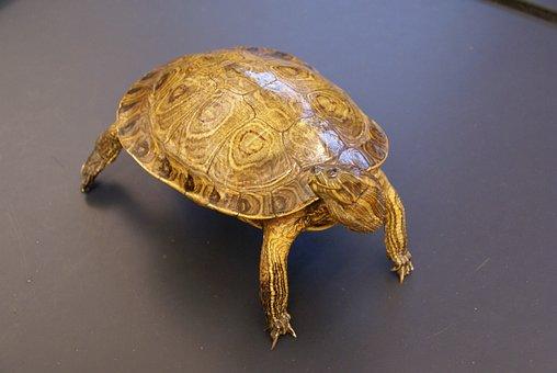 Turtle, Animal, Close-up, Macro, Shell, Armor