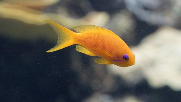 Fish, Orange, Purple, Aquarium, Small, Underwater