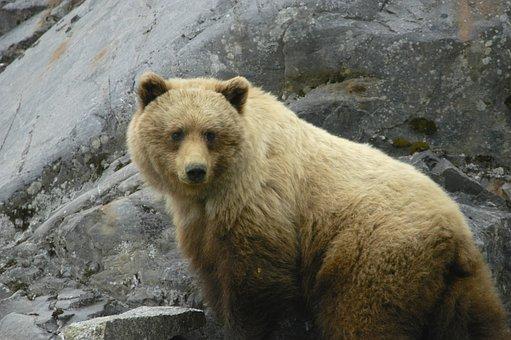 Glacier Bay, Alaska, Brown Bear, Wildlife, Nature