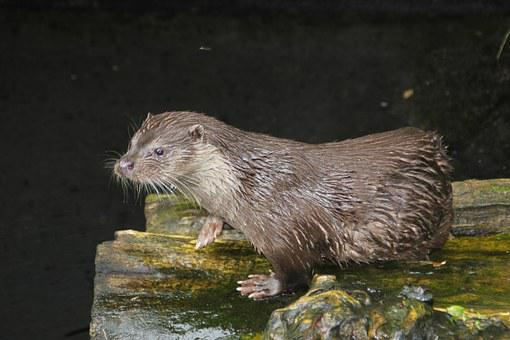 Sea otter, Animal, Alpenzoo, Innsbruck, Austria