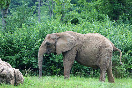 Elephant, Animal, Big, Nature, Wildlife, African, Large