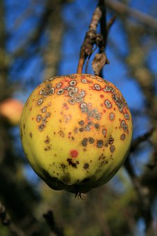 Apple, Apple Tree, Stainless, Fruit, Blemish