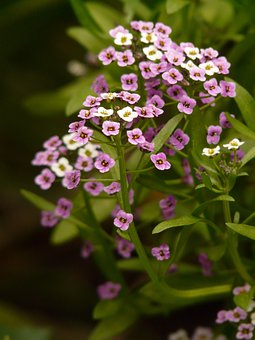 Doldiger Cress, Cress, Arabis Caucasica, Flowers