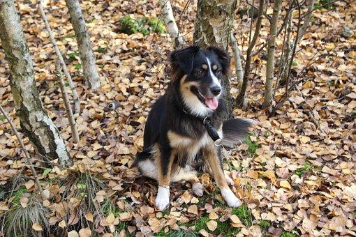 Australia Shepherd, Dog Loving, Of Course, Attention