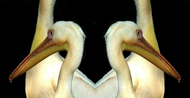 Pelikan, Bill, Wing, Plumage, Water Bird, Seevogel