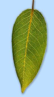 Leaf, Pear Leaf, Blattstrucktur, Garden, Nature