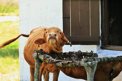 Bovine, Farm Animal, Animal, Farm, Red, Brown