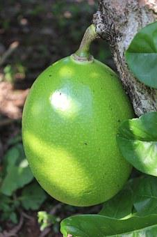 Fruit, Calabash Tree, Villavicencio, Colombia