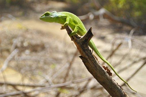 Chameleon, Mayotte, Dziani Lake, Reptile