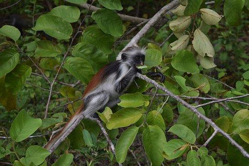 Endemic Monkey, Guaréza Red Zanzibar, Zanzibar
