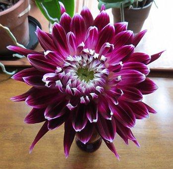 Vancouver Dahlia, Dahlia, Floral, Plant, Natural