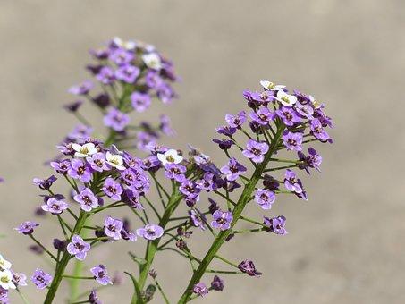 Doldiger Cress, Cress, Inflorescence, Flowers, Flower