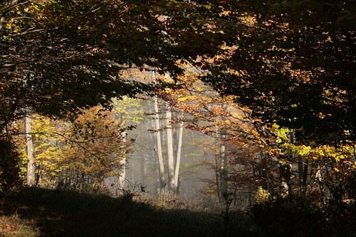 Beech Wood, Fog, Forest, Autumn Mood, Deciduous Tree