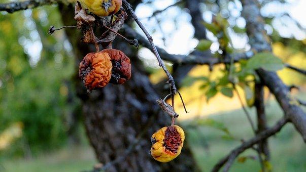 Apple, Disease, Fruit, Fruit Rot, Tree, Autumn, Fall