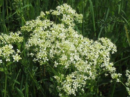 Lepidium Draba, Whitetop, Hoary Cress, Wildflower