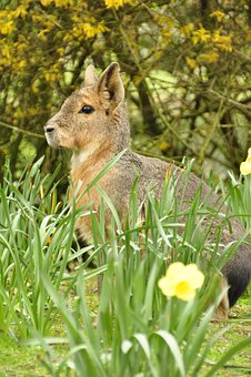 Large Mara, Steppe Hare, Pampashase, Hare, Easter