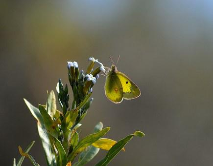 Clouded Yellow, Butterfly, Macro, Natural